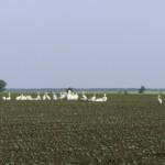 Pelicani la adunare
