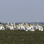 Pelicani schimband impresii